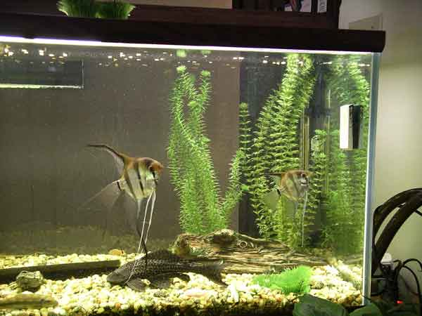 Angelfish Breeding This Site Contains Information For Breeding And Spawning Angelfish Fry,Types Of Shrubs In New England